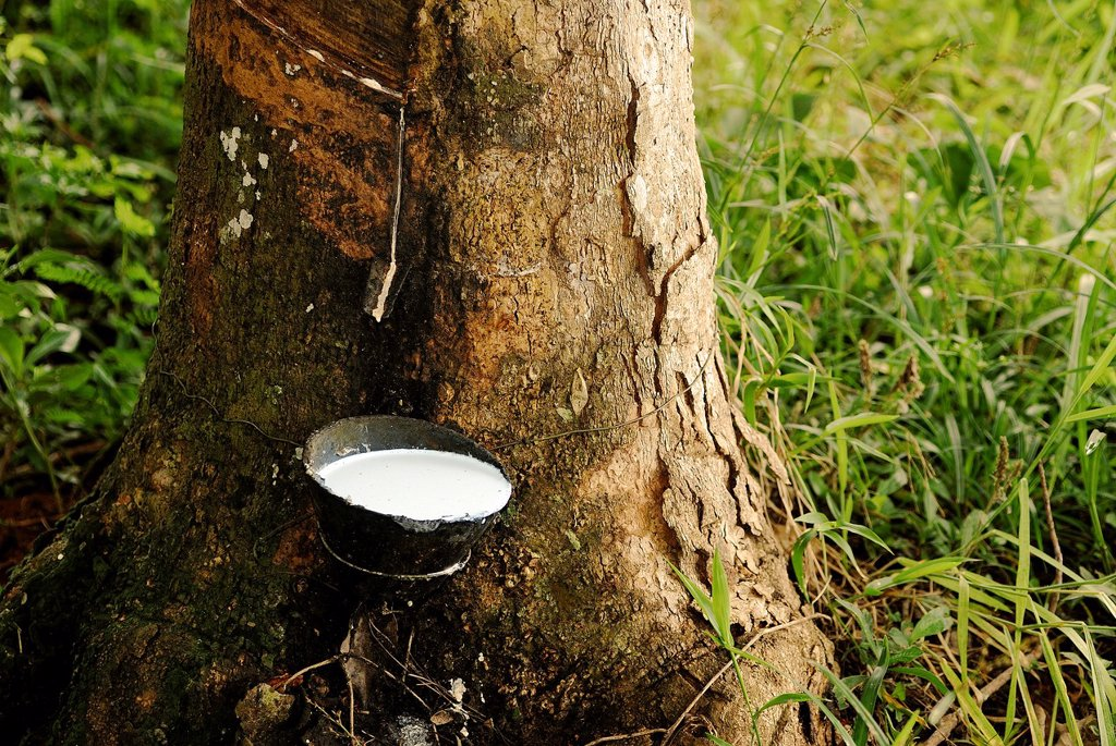 Stock Photo: 1566-742886 Latex of a rubber tree, Acre, Brazil, 2008