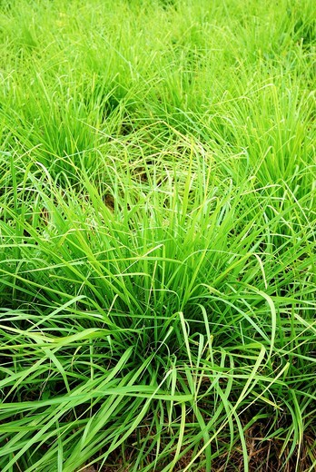 Massai grass, Panicum maximum cv  massai, 2009 : Stock Photo