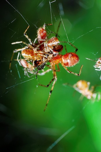 Social spider eating a fly Anelosimus domingo, Theridiidae Acre, Brazil, 2009 : Stock Photo