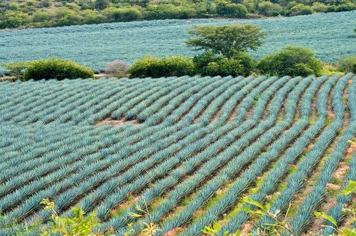 Growing Agave Plants for Tequila Production : Stock Photo