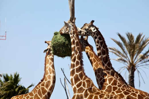 Giraffes eating at Africam Safari Zoo, Mexico : Stock Photo