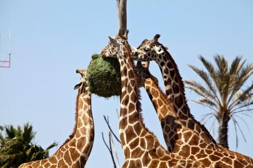 Stock Photo: 1566-744259 Giraffes eating at Africam Safari Zoo, Mexico
