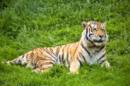 A siberian tiger (Panthera tigris altaica) resting in the grass, Captive : Stock Photo