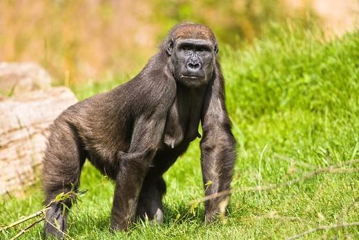 Stock Photo: 1566-744285 A female Western Lowland Gorilla (Gorilla Gorilla) walking through grass, Captive