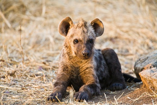 A spotted hyena cub (Crocuta crocuta) lying in front of its den, South Africa : Stock Photo