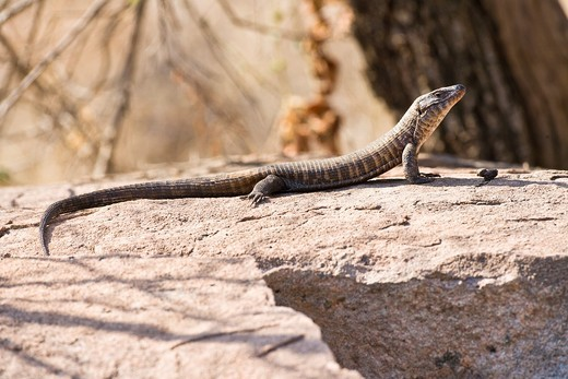 Stock Photo: 1566-744294 A monitor lizard (Varanus) soaking up the sun in the Kruger National Park, South Africa