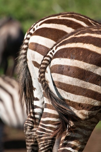 Stock Photo: 1566-744436 Close up of the backside of two Burchell´s zebras (Equus burchelli), Tanzania, Africa