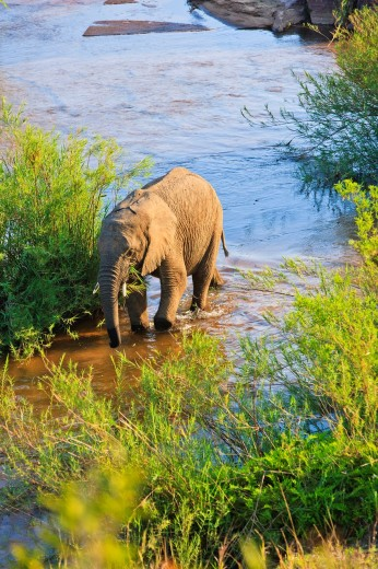 African elephant (Loxodonta africana) strolling through the Lower Sabie River, South Africa : Stock Photo