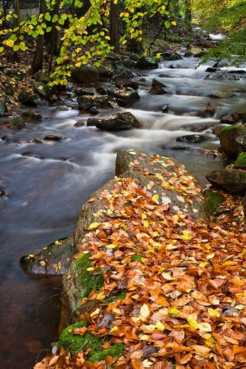 Stock Photo: 1566-744636 Stream, forest and fallen leaves in autumn, Harz, Germany, Europe