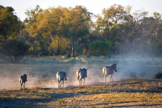 Stock Photo: 1566-744707 Four Burchell´s zebras (Equus burchelli) walking away from the camera, Botswana, Africa