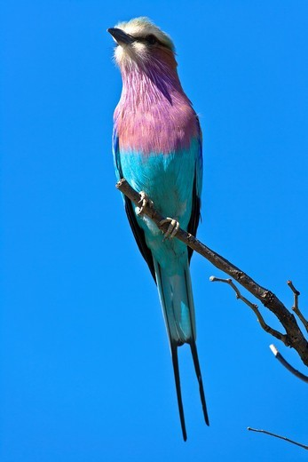 Lilac breasted roller (Coracias caudatus) sitting on a branch, Botswana, Africa : Stock Photo