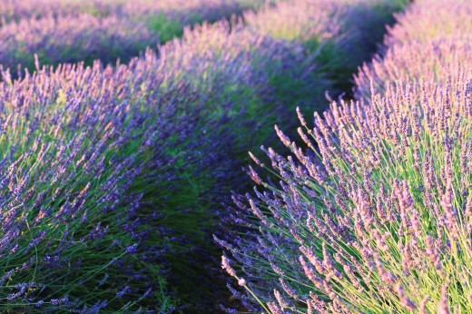 Close up of lavender field in Provence, France, Europe : Stock Photo