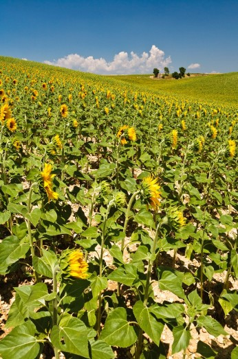 Stock Photo: 1566-744863 Field of sunflowers in Provence, France, Europe