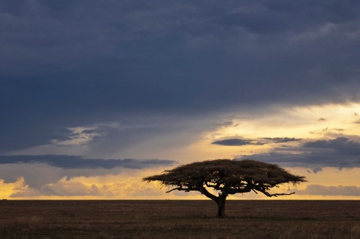 Flat-topped acacia tree (Acacia tortilis) with approaching storm clouds, Serengeti National Park, Tanzania, Africa : Stock Photo