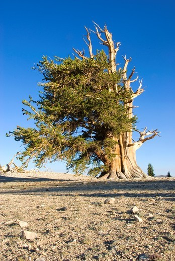 Stock Photo: 1566-748026 Bristlecone pine at Patriarch Grove, Ancient Bristlecone Pine Forest, Ancient Bristlecone National Scenic Byway, Inyo National Forest, California