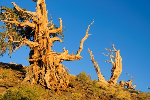Bristlecone pine, Ancient Bristlecone Pine Forest, Ancient Bristlecone National Scenic Byway, Inyo National Forest, California : Stock Photo
