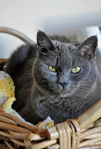 Stock Photo: 1566-749590 This vertical stock image is a closeup of a Russian blue cat sitting in a wicker basket  Beautiful yellow greenish eyes