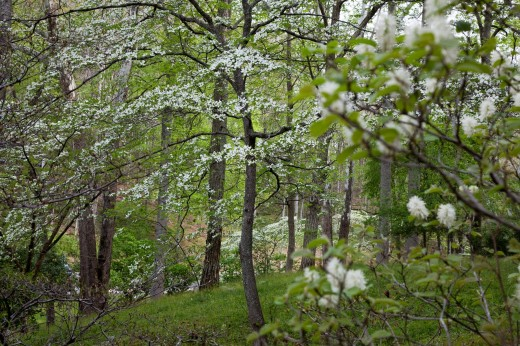 Oak Ridge, Tennessee - Dogwood blooming at the University of Tennessee Arboretum : Stock Photo