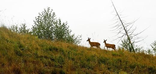 Black Tail Deer, Odocoileus hemionus in Vancouver island  British Columbia  Canada : Stock Photo