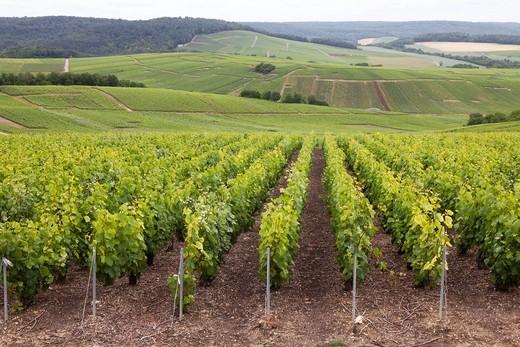 Stock Photo: 1566-760101 vineyard in champagne, France