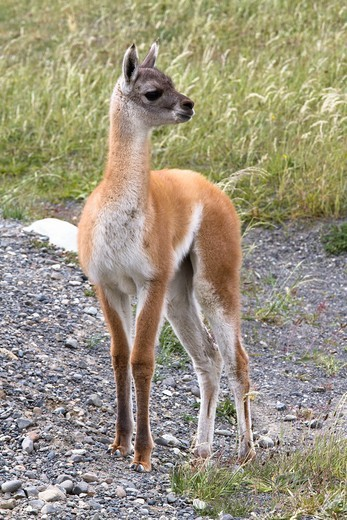 Stock Photo: 1566-760669 Young Guanaco, Torres Del Paine, Chile