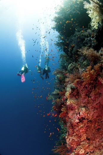 Stock Photo: 1566-762123 Scuba Divers pass by a coral reef photographed at Ras Mohammed National Park, Red Sea, Sinai, Egypt,