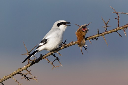 Great Greay Shrike Lanius excubitor, perched on branch, whith impaled mouse, Lower Saxony, Germany : Stock Photo