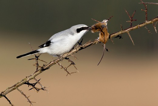 Stock Photo: 1566-763424 Great Greay Shrike Lanius excubitor, perched on branch, whith impaled mouse, Lower Saxony, Germany