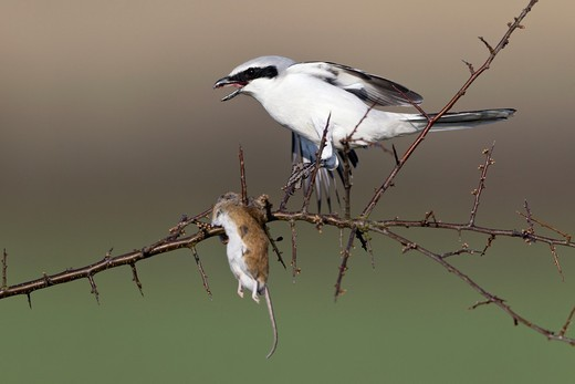 Stock Photo: 1566-763425 Great Greay Shrike Lanius excubitor, perched on branch, whith impaled mouse, Lower Saxony, Germany
