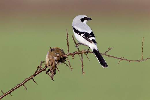 Great Greay Shrike Lanius excubitor, perched on branch, whith impaled robin, Lower Saxony, Germany : Stock Photo