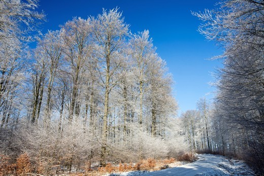 Beech woodland Fagus sylvatica, covered in frost, winter, Hessen, Germany : Stock Photo