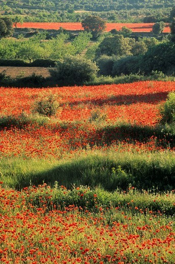 Stock Photo: 1566-764968 Field of corn poppies around Cretas village, Matarraña, Teruel Spain