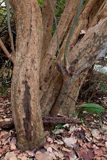 Vertical image of gumbo-limbo tree trunks taken in Florida, USA : Stock Photo