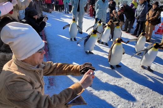Stock Photo: 1566-767226 penguin, Asahiyama zoo, Asahikawa, Hokkaido, Japan