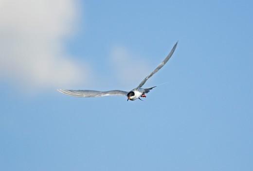 Twin Falls, Sterna hirundo, Common Tern flying above Murtaugh Lake near the town of Murtaugh in southern Idaho : Stock Photo
