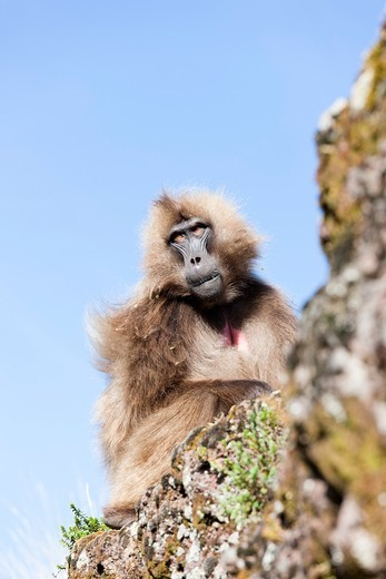 Gelada, Gelada Baboon or Ethiopian Lion Theropithecus gelada in the Simien Mountains National Park in Ethiopia  Geladas are an endemic primate species living in Ethiopia  Portrait of an adult male  Living in the high mountain environment of the Ethiopian. Gelada, Gelada Baboon or Ethiopian Lion Theropithecus gelada in the Simien Mountains National Park in Ethiopia  Geladas are an endemic primate species living in Ethiopia  Portrait of an adult male  Living in the high mountain environment of the : Stock Photo