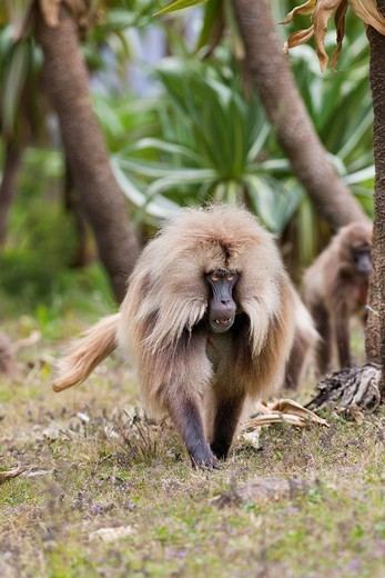 Stock Photo: 1566-767947 Gelada, Gelada Baboon or Ethiopian Lion Theropithecus gelada in the Simien Mountains National Park in Ethiopia  Geladas are an endemic primate species living in Ethiopia  Portrait of an adult male in a forest of Ethiopian Giant Lobelia , Lobelia rhynchope. Gelada, Gelada Baboon or Ethiopian Lion Theropithecus gelada in the Simien Mountains National Park in Ethiopia  Geladas are an endemic primate species living in Ethiopia  Portrait of an adult male in a forest of Ethiopian Giant Lobelia , Lobel
