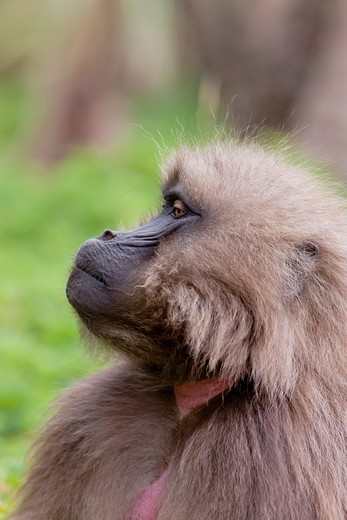 Stock Photo: 1566-767957 Gelada, Gelada Baboon or Ethiopian Lion Theropithecus gelada in the Simien Mountains National Park in Ethiopia  Geladas are an endemic primate species living in Ethiopia  Living in the high mountain environment of the Ethiopian Highlands up to 4500m Gelad. Gelada, Gelada Baboon or Ethiopian Lion Theropithecus gelada in the Simien Mountains National Park in Ethiopia  Geladas are an endemic primate species living in Ethiopia  Living in the high mountain environment of the Ethiopian Highlands up to