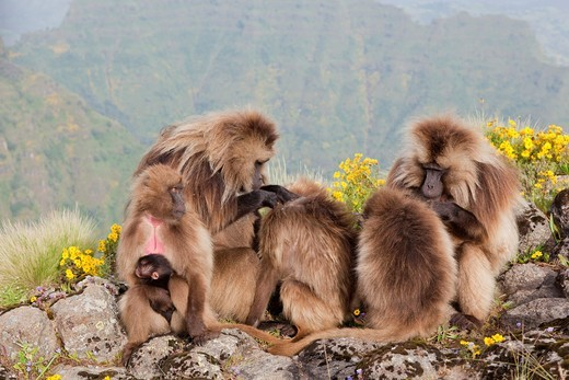 Stock Photo: 1566-768017 Gelada, Gelada Baboon or Ethiopian Lion Theropithecus gelada in the Simien Mountains National Park in Ethiopia  Geladas are an endemic primate species living in Ethiopia  Geladas grooming, this behaviour strengthens the bonds in the group  Living in the h. Gelada, Gelada Baboon or Ethiopian Lion Theropithecus gelada in the Simien Mountains National Park in Ethiopia  Geladas are an endemic primate species living in Ethiopia  Geladas grooming, this behaviour strengthens the bonds in the group  Liv