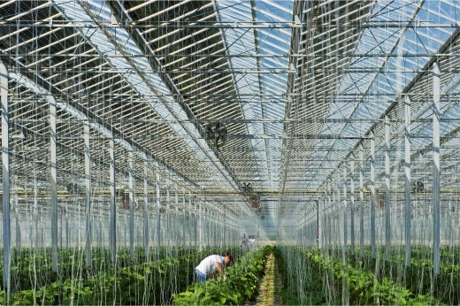 Romanian workers in Growing eggplant, Photovoltaic solar greenhouse, Merlino Azienda Agricola San Maurizio, Merlino, Lodi province, Italy : Stock Photo