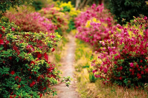 Stock Photo: 1566-772015 Footpath with azaleas of mixed colors  Furnas, Sao Miguel island, Azores islands, Portugal
