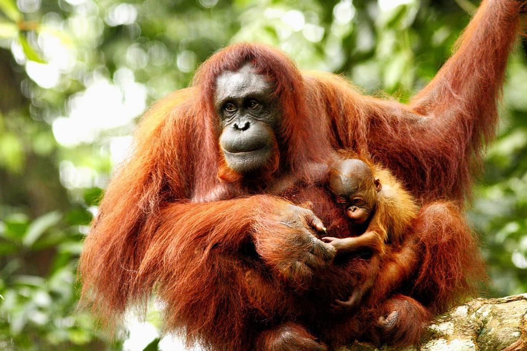 Stock Photo: 1566-772319 Orangutans. Semengoh Wildlife Centre, Sarawak, Malaysia