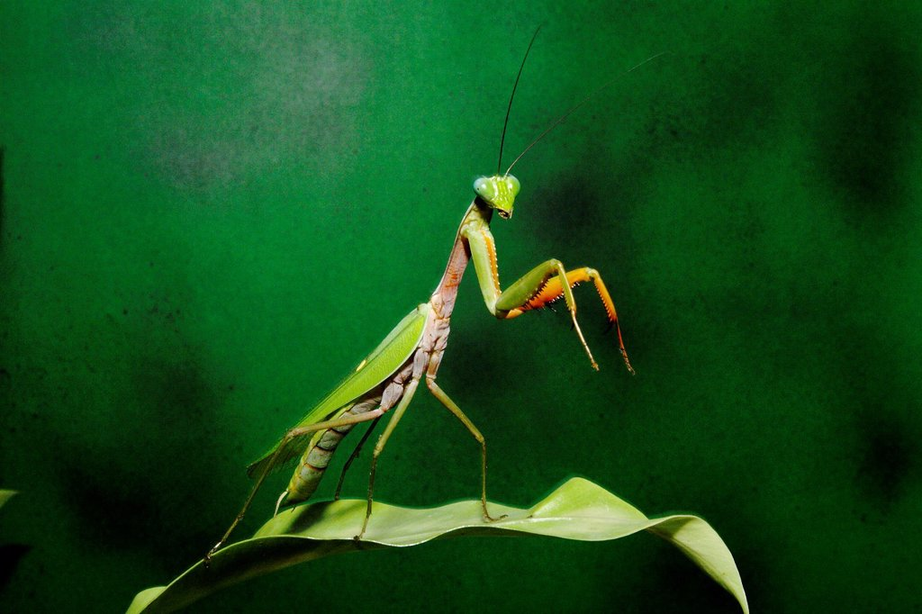 Stock Photo: 1566-772520 Mantis in action