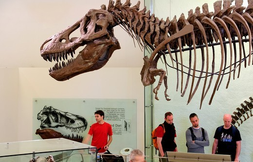Tyrannosaurus Rex, Tyrannosaurus meaning ´tyrant lizard´ and Rex meaning ´king´ in Latin, American Museum of Natural History, New York City : Stock Photo