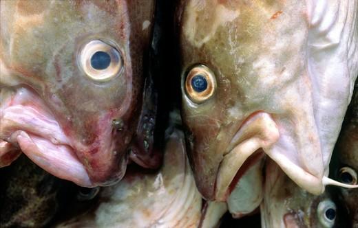Stock Photo: 1566-774386 Freshly caught and landed cod fish  North Sea, Atlantic, British Isles fishing industry