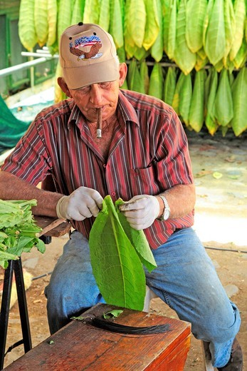 Worker with tobacco leaves, La Palma, Canary Islands, Spain : Stock Photo