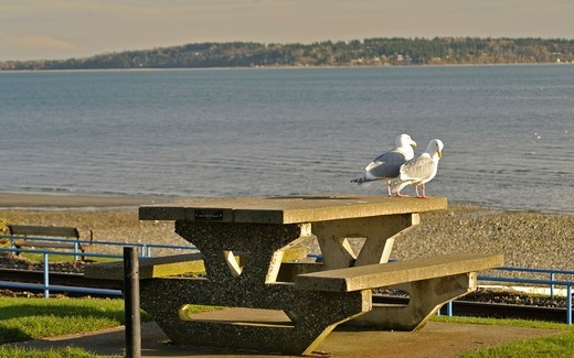 Stock Photo: 1566-774847 Gulls on a picnic table, White Rock, British Columbia, Canada