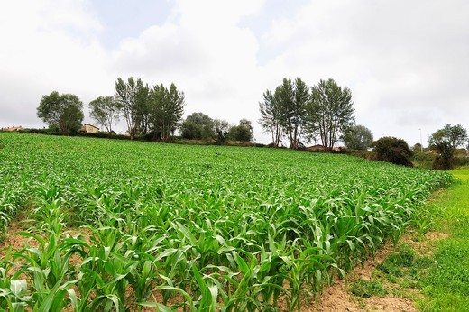 Stock Photo: 1566-778419 Planting corn