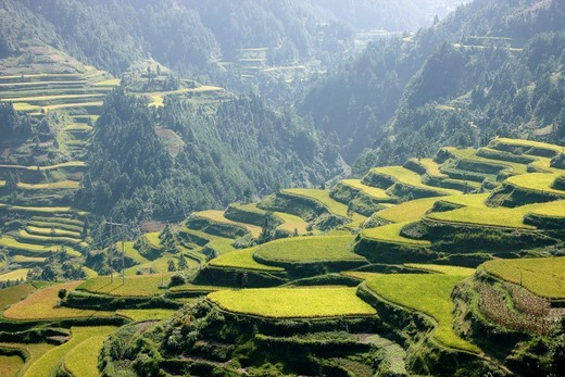 Terraces, Rice fields, Leigong Shan Nature Reserve, Montes Leigong, Guizhou, China : Stock Photo