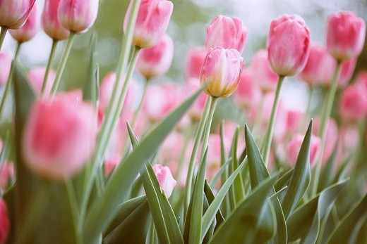Pink Tulip : Stock Photo